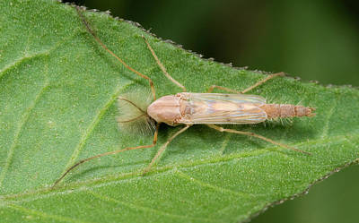 Bite Photograph - Non-biting Midge by Nigel Downer