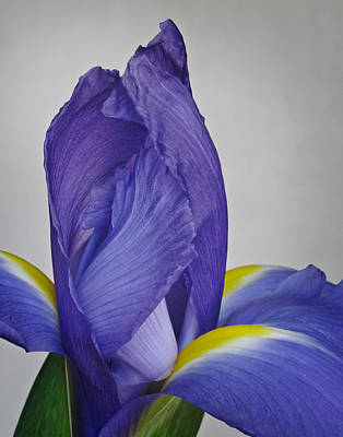 Photograph - Dutch Iris by David and Carol Kelly