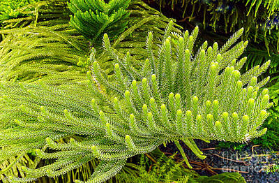 Grow Digital Art - Norfolk  Island  Pine In California by Bob and Nadine Johnston