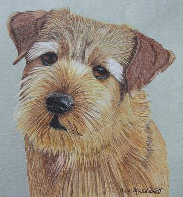 Drawing - Norfolk Terrier by Anita Putman