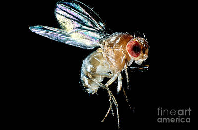 Normal Red-eyed Fruit Fly Art Print