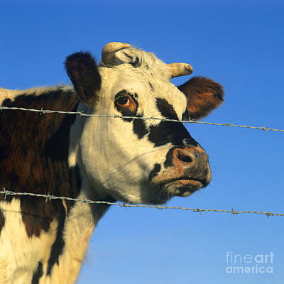 Barbed Wire Fences Photograph - Normand Cow by Bernard Jaubert