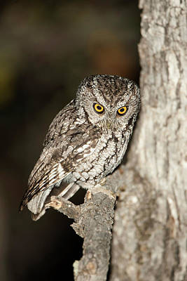 Screech Owl Photograph - North America, Usa, Arizona, Whiskered by Joe and Mary Ann Mcdonald