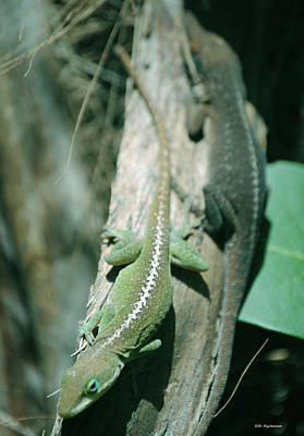 Photograph - North American Anoles by DiDi Higginbotham