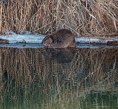 Photograph - North American Beaver by Britt Runyon