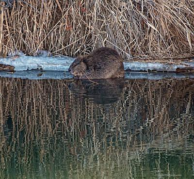 Photograph - North American Beaver by Britt Runyon