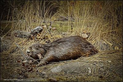Photograph - North American Beaver by LeeAnn McLaneGoetz McLaneGoetzStudioLLCcom