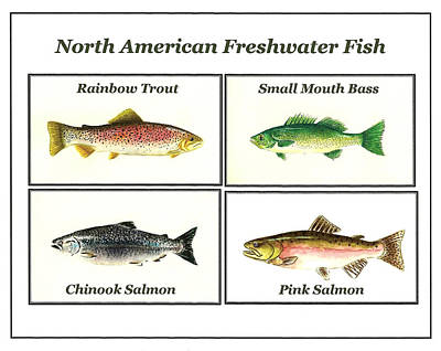 Trout Painting - North American Freshwater Fish by Michael Vigliotti