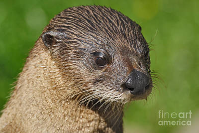 Lynne Otter Photograph - North American River Otter by Lynne Sutherland
