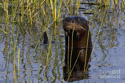 Photograph - North American River Otter by Meg Rousher