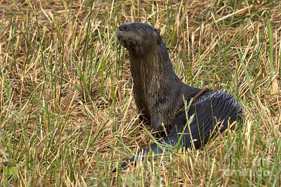 Photograph - North American River Otter Photo by Meg Rousher