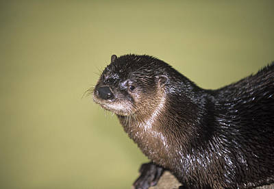 North American River Otter Art Print by Sally Mccrae Kuyper/science Photo Library