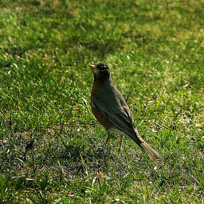 Photograph - North American Robin In The Spring by Denyse Duhaime