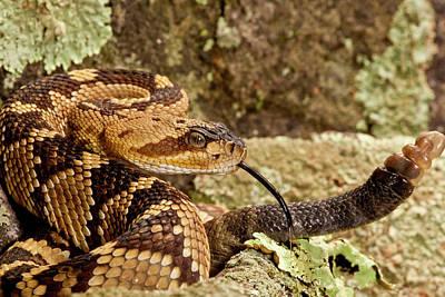 Rattlesnakes Photograph - Northern Black-tailed Rattlesnake by David Northcott