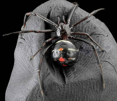 Black Widow Spider Photograph - Northern Black Widow Spider by Us Geological Survey