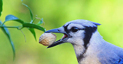 Photograph - Northern Blue Jay by Dart and Suze Humeston