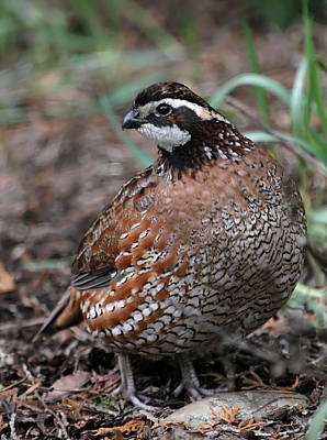 Photograph - Northern Bobwhite by Angie Vogel