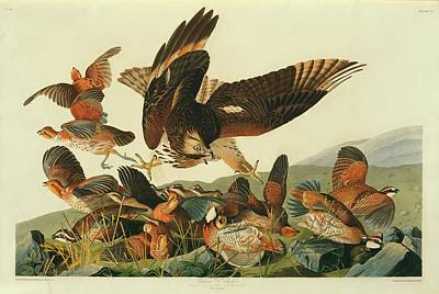 Red Shouldered Hawk Photograph - Northern Bobwhites And A Hawk by Natural History Museum, London/science Photo Library