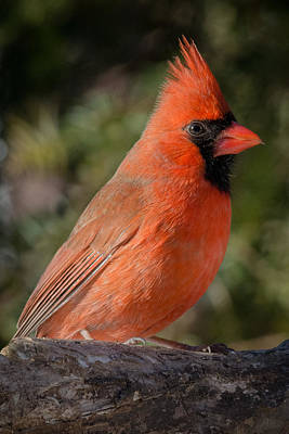Photograph - Northern Cardinal 2 by Kenneth Cole
