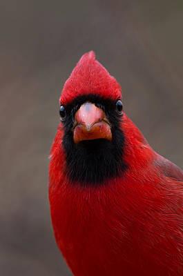 Northern Cardinal - 6393 Art Print