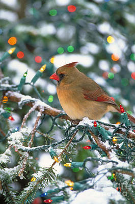 Photograph - Northern Cardinal And Christmas Lights by Steve Maslowski