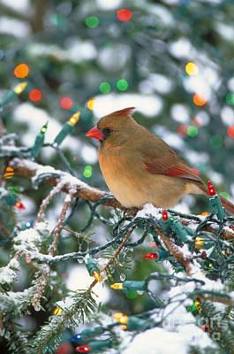 Photograph - Northern Cardinal And Christmas Lights by Steve Maslowski