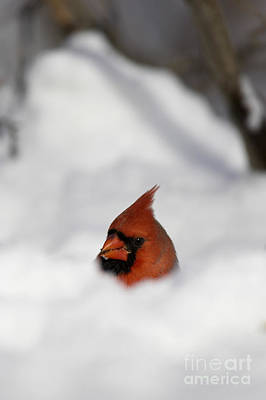 Northern Cardinal Art Print by Cal Vornberger