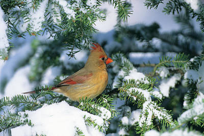 Northern Cardinal Photograph - Northern Cardinal (cardinalis Cardinalis by Richard and Susan Day