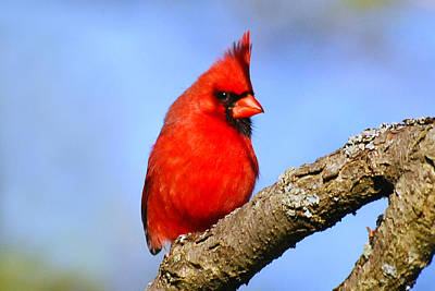Photograph - Northern Cardinal by Christina Rollo