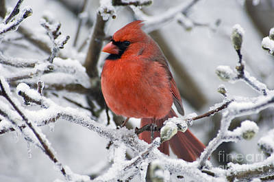 Photograph - Northern Cardinal - D009416 by Daniel Dempster