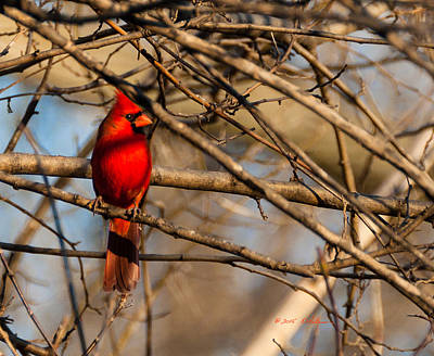 Photograph - Northern Cardinal by Edward Peterson