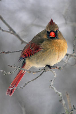 Photograph - Northern Cardinal Female by Timothy McIntyre