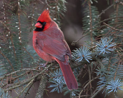 Photograph - Northern Cardinal by John Kunze