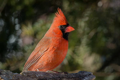 Photograph - Northern Cardinal by Kenneth Cole