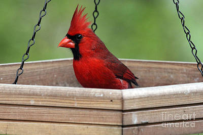 Photograph - Northern Cardinal Photograph by Meg Rousher