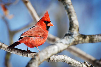 Northern Cardinal Scarlet Blaze Print by Christina Rollo