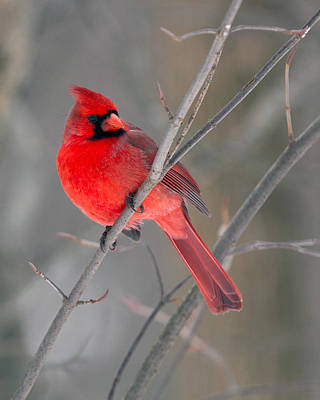 Photograph - Northern Cardinal  by Timothy McIntyre