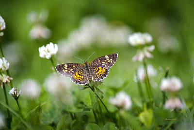 Checkerspot Photograph - Northern Crescent Butterfly by Christina Rollo
