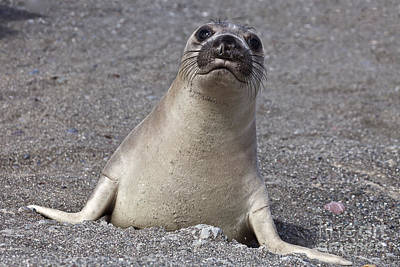 Photograph - Northern Elephant Seal Weaner by Liz Leyden