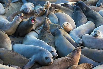 San Simeon Photograph - Northern Elephant Seals (mirounga by Russ Bishop