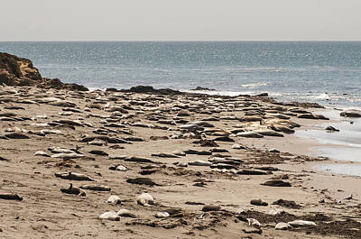 Photograph - Northern Elephant Seals On The Beach by Lee Kirchhevel