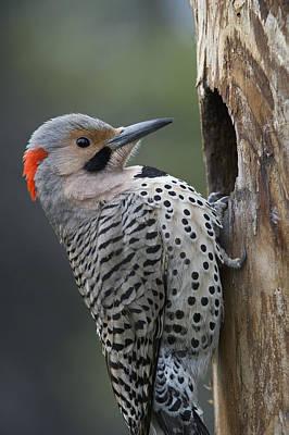 Flicker Photograph - Northern Flicker At Nest Cavity Alaska by Michael Quinton