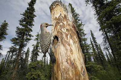 Northern Flicker At Nest Cavity Art Print by Michael Quinton