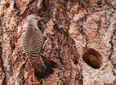 Northern Flicker Balanced On The Bark Art Print by Michael Qualls