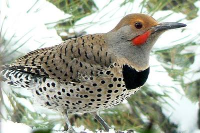 Photograph - Northern Flicker Close-up by Marilyn Burton