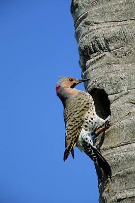 Northern Flicker (colaptes Auratus Art Print by Richard and Susan Day