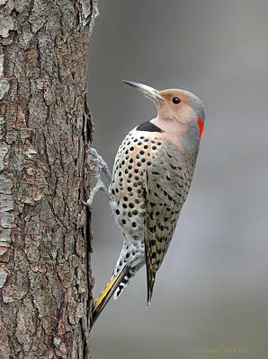 Photograph - Northern Flicker by Daniel Behm