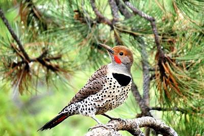 Photograph - Northern Flicker In A Ponderosa Pine by Marilyn Burton