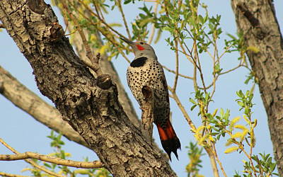Mark Wagner Wall Art - Photograph - Northern Flicker by Mark Wagner