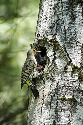 Hungry Chicks Photograph - Northern Flicker Nest by Christina Rollo